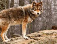 Неожиданный гость: в Государственный музей Нью-Йорка забрался койот (ФОТО)