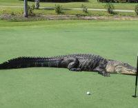 Незваный гость: житель Флориды обнаружил трехметрового аллигатора в своем басейне (ФОТО)